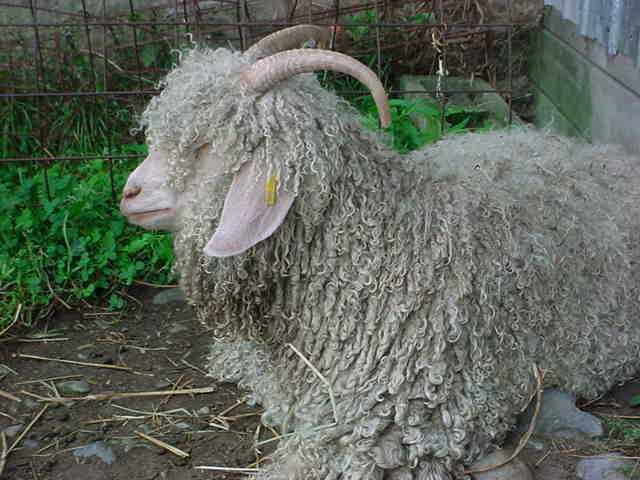 Mohair Goats